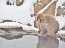 Japanska macaques snöar apan på den Jigokudani apan parkerar i den Nagano prefekturen, Japan Arkivfoton