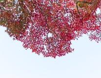 Japanska röda lönnlöv mot himlen, bruk för bakgrund i Japan höstbegrepp Botten beskådar Arkivfoton