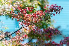 Japanska röda lönnlöv mot himlen, bruk för bakgrund i Japan höstbegrepp Närbild Royaltyfria Bilder