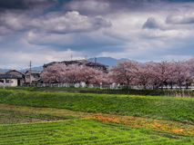 Japanska risfält och Cherry Blossoms Arkivfoton