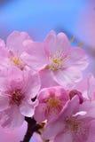 Japanska rosa färger Cherry Blossom för makrobakgrund i vertikal ram Royaltyfri Bild