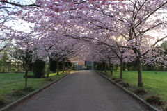 Japanska rosor Arkivbild