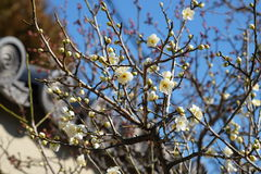 Japanska vita plommonUme blomningar Royaltyfria Foton
