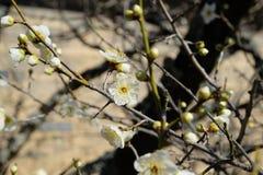 Japanska vita plommonUme blomningar Fotografering för Bildbyråer