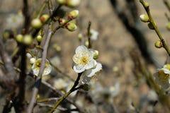 Japanska vita plommonUme blomningar Arkivfoton