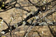 Japanska vita plommonUme blomningar Arkivfoto