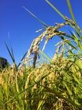 Japanskt öra av ris Royaltyfria Bilder