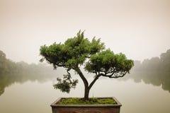 Japanskt bonsaiträd i kruka på zenträdgården Royaltyfri Fotografi