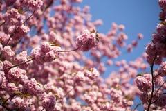 Japanskt Cherry Royaltyfria Bilder