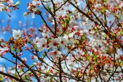 Japanskt körsbär för härlig blomning - Sakura Bakgrund med blommor Arkivfoto