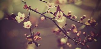 Japanskt körsbär för härlig blomning - Sakura Bakgrund med blommor på en fjädradag Vår Arkivfoto