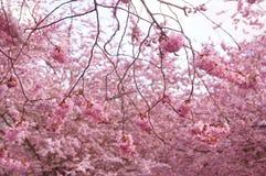 Japanskt körsbärsrött träd i rosa blommor för blomning Royaltyfri Bild
