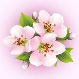 Japanskt körsbärsrött träd som blomstrar filialen av sakura Royaltyfri Foto