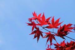 Japanskt träd för röd lönn med himmelbakgrund Fotografering för Bildbyråer