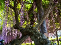 Japanskt träd Sakura, bakgrund för härlig blomning med blommor på en vårdag Arkivbild