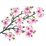 Japanskt träd sakura, isolerad körsbärsröd blomning Royaltyfri Fotografi