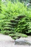 Japanträdgård, exotiska växter, vår, Wroclaw, Polen Royaltyfri Foto