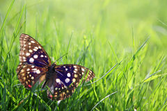 Japenese Emperor Butterfly in Green Grass Background Stock Photo