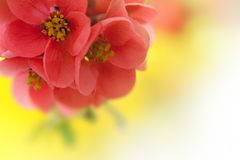 Japenese flowering crabapple Royalty Free Stock Image