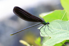 Japenese graceful damselfly Stock Images