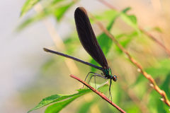 Japenese graceful damselfly Royalty Free Stock Photography
