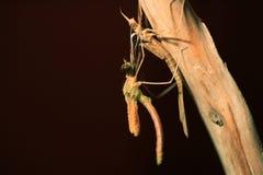 Japenese graceful damselfly. Emerge (Calopteryx atrata) in Japan Stock Photo