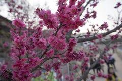 Japenese het roze pruim bloeien Royalty-vrije Stock Afbeelding