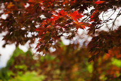 Japenese maple. Japanese maple (acer japonica) fall background with shallow depth of field Stock Image