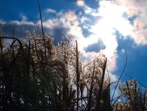 Japenese pampas grass in the sunshine. Japenese pampas grass in the background spring sky, with clouds and sunshine. Latin name Miscanthus sinensis Royalty Free Stock Photos
