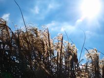 Japenese pampas grass in the sunshine. Japenese pampas grass in the background spring sky, with clouds and sunshine. Latin name Miscanthus sinensis Stock Photo