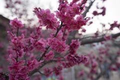 Pink plum blossom. Japenese plum blooming in Korea Stock Photos