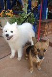 Japenese Spitz and Broome-breed. Both dogs extremely well trained - trainable and good natured royalty free stock photos