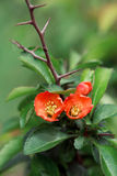 Japn garden. Blossoming Chaenomeles (flowering quince, Japanese quince) Royalty Free Stock Images
