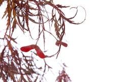 japnese槭树种子 免版税图库摄影