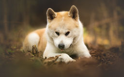 Japnese dog Akita Inu at the forest Royalty Free Stock Photo