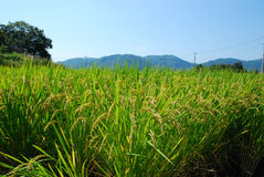 Japnese risfält Royaltyfri Bild