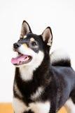 Japnese Shiba inu dog Royalty Free Stock Photography