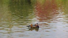 Japończyka ogródu kaczki dopłynięcie w lakemunich bavaria czerwieni drzewie zdjęcie royalty free