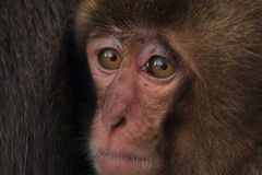 japończycy małpa Obraz Stock