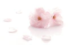 Japończyk kopia kwitnął czereśniowego okwitnięcie odizolowywał 3 fotografia stock