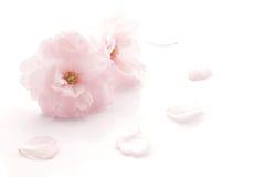 Japończyk kopia kwitnął czereśniowego okwitnięcie odizolowywającego obraz stock