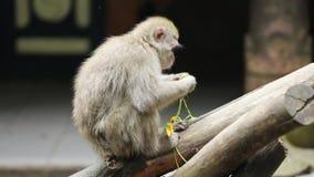 Japończyka łasowania małpia marchewka przy zoo zdjęcie wideo