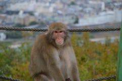 japończyka dziki małpi Obrazy Royalty Free
