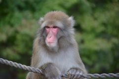 japończyka dziki małpi Fotografia Royalty Free