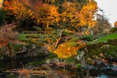 Japończyka obłoczny drzewo w jesieni zdjęcie royalty free