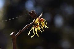 Japońscy czarownicy leszczyny kwiaty zdjęcia royalty free