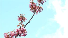 Japońscy Czereśniowego drzewa okwitnięcia zbiory wideo