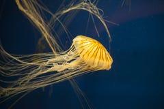 Japońscy denni pokrzywowi jellyfish Obrazy Stock