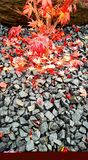 Japońscy liście klonowi na skałach Fotografia Royalty Free