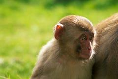 Japońscy makaków potomstwa zdjęcia stock